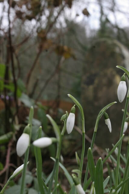 Snowdrops coming up in the garden